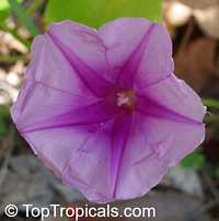 Ipomoea pes caprae, Ipomoea biloba , Beach Morning Glory, Gost Foot Creeper, Railroad Vine  Click to see full-size image