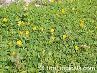 Arachis hypogaea, Arachis glabrata, PeanutClick to see full-size image