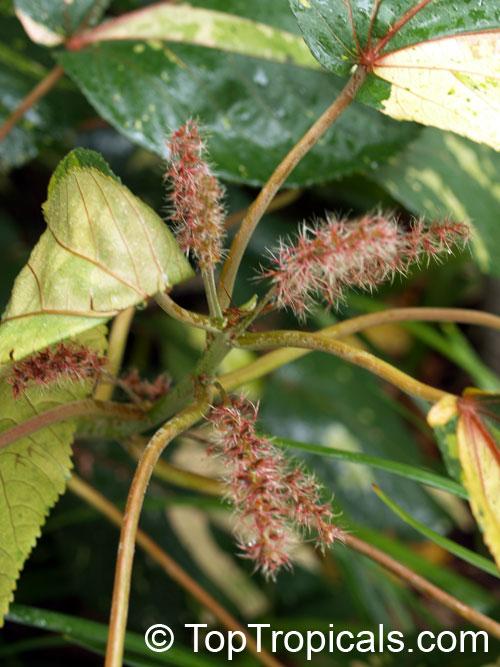 Acalypha wilkesiana fire dragon acalypha hoja de cobre copper