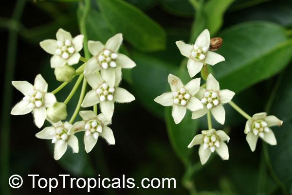 Funastrum Clausum Sarcostemma Clausum White Milkweed