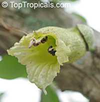 Crescentia alata, Parmentiera alata , Gourd tree, Jicaro, Morrito  Click to see full-size image