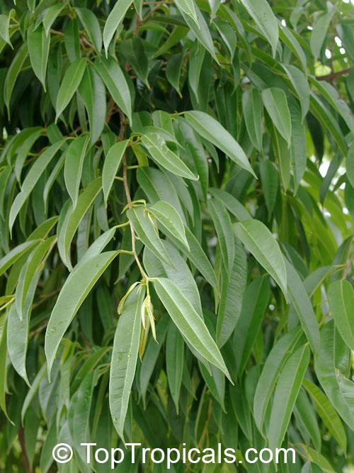 Ficus Binnendijkii Ficus Maclellandii Long Leaf Fig