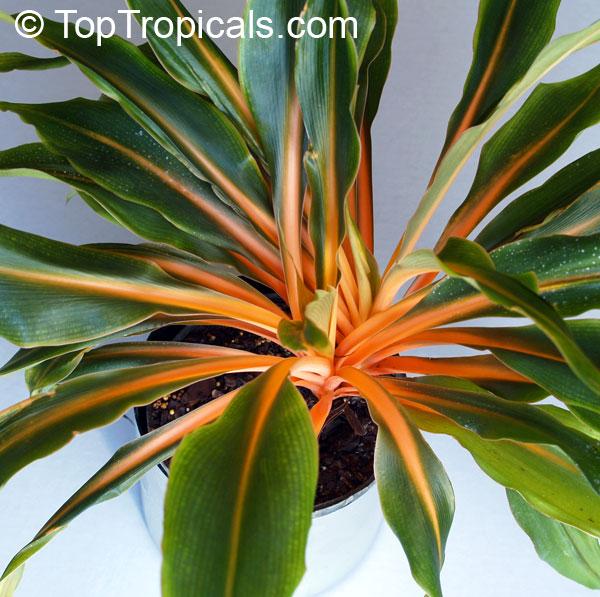 Link to this plant: https://toptropicals.com/catalog/uid/chlorophytum ... Green Garden Spider