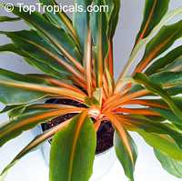 Chlorophytum orchidanteroides - Mandarin Plant  Click to see full-size image