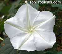 Calonyction aculeatum (Ipomoea alba) - seeds