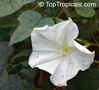 Calonyction aculeatum, Ipomoea alba, Giant moonflower  Click to see full-size image