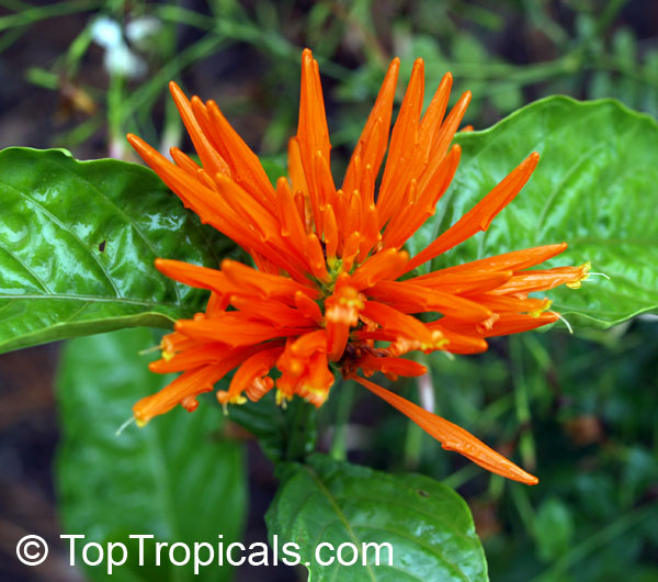 Hummers For Sale >> Justicia sp., Jacobinia sp., Plume Flower - TopTropicals.com