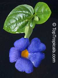 Thunbergia battiscombei - Bengal Clock Vine, Blue Glory