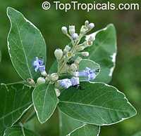 Vitex trifolia Variegata - Variegated Arabian Lilac