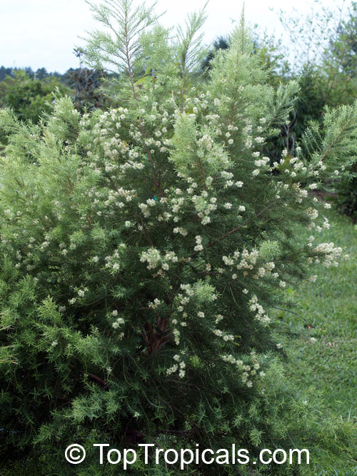 Melaleuca Alternifolia Tea Tree Toptropicals Com