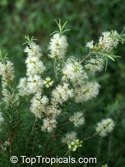Melaleuca Alternifolia Tea Tree Snow In Summer