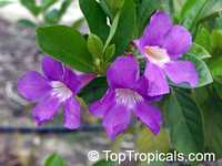 Mansoa verrucifera, Bignonia verrucifera, Onohualcoa verrucifera , Mansoa  Click to see full-size image