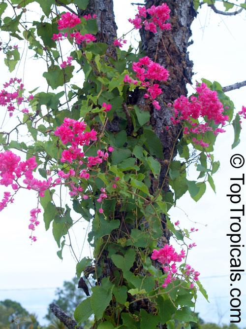 Antigonon leptopus mexican coral vine coral creeper honolulu antigonon leptopus mexican coral vine coral creeper honolulu creeper corallita chinese mightylinksfo
