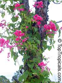 Antigonon leptopus - Mexican Coral Vine  Click to see full-size image