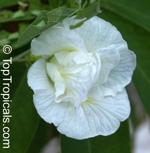 синий чай название растения