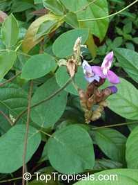 Canavalia sp., Magic Bean, Kaattuthambattan, Beach Bean, Seaside Bean, Jackbean  Click to see full-size image
