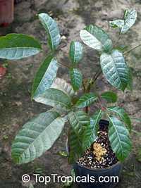 Canarium harveyi , Canarium Nut  Click to see full-size image