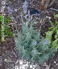 Lavandula angustifolia, Lavandula officinalis, Lavandula vera, Lavandula spica, Lavender, English Lavender  Click to see full-size image