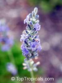 Lavandula angustifolia, Lavandula officinalis, Lavandula vera, Lavandula spica, Lavender, English LavenderClick to see full-size image