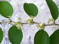 Ziziphus jujuba, Ziziphus sativa, Ziziphus vulgaris, Zizyphus mauritiana, Indian Jujube, Chinese Date  Click to see full-size image