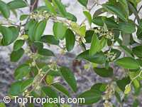 Ziziphus jujuba, Ziziphus sativa, Ziziphus vulgaris, Zizyphus mauritiana, Indian Jujube, Chinese DateClick to see full-size image