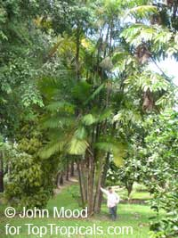 Euterpe oleracea, Asai, Assai, Acai, Cabbage Palm, Pina Palm  Click to see full-size image