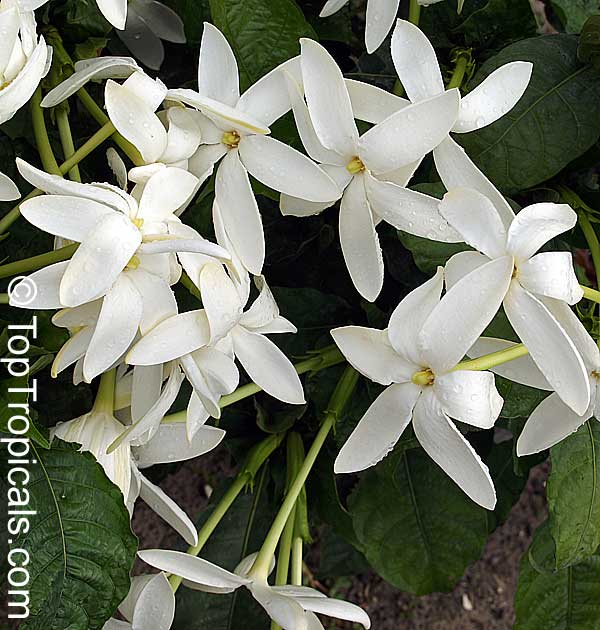 Toptropicals rare plants for home and garden gardenia nitida shooting star gardenia clustered flowers click to see full size mightylinksfo