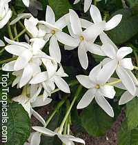 Gardenia nitida - Shooting Star Gardenia (clustered flowers)