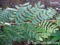 Calliandra haematocephala x surinamensis Nana, Dwarf Powderpuff Tree  Click to see full-size image