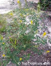 Crotalaria pallida , Smooth Rattlebox  Click to see full-size image