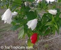 Malvaviscus arboreus penduliflorus Alba, White Turk's Cap  Click to see full-size image
