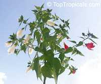Malvaviscus arboreus penduliflorus Alba  Click to see full-size image