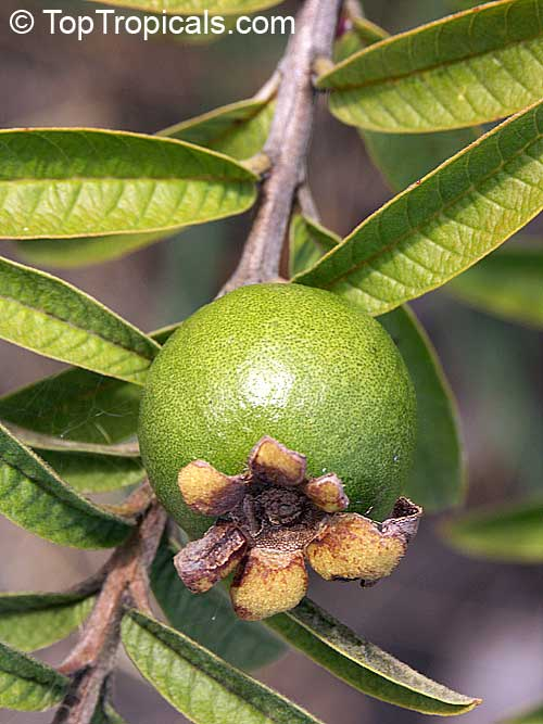 Psidium guajava Nana, Dwarf Guava - TopTropicals com