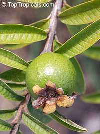 Psidium guajava Nana, Dwarf Guava  Click to see full-size image