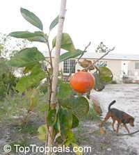 Diospyros kaki, Kaki, Japanese Persimmon, Oriental Persimmon, Sharon FruitClick to see full-size image