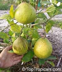 Citrus limon Ponderosa, Giant Lemon, Ponderosa Lemon, Wonder Lemon  Click to see full-size image