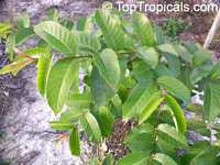 Anogeissus latifolia, Ghatti, Indian Gum Tree, Dhawa, Indian sumac  Click to see full-size image