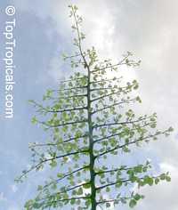 Bauhinia rufescens, Adenolobus rufescens, Bauhinia adansoniana, Kharoub, Kulkul, Nammare, Jiga, Randa  Click to see full-size image