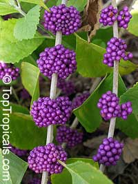 Callicarpa americana - American Beautyberry  Click to see full-size image