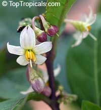 Solanum diphyllum, Twoleaf nightshade