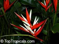 Heliconia angusta Christmas Holiday, Heliconia vaginalis, Christmas Holiday
