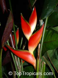 Heliconia stricta Dwarf Jamaican  Click to see full-size image