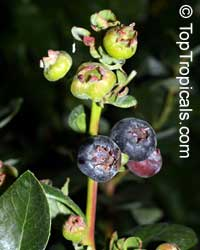 Vaccinium hybrid - Tropical Blueberry Sharp  Click to see full-size image