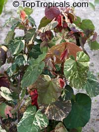 Hibiscus tiliaceus - Variegated Mahoe  Click to see full-size image