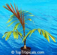Chambeyronia macrocarpa, Red Leaf Palm, Red Feather Palm, Flame Thrower Palm, Blushing Palm  Click to see full-size image