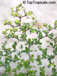 Bucida spinosa, Bucida molinetti, Spiny Black Olive, Ming TreeClick to see full-size image