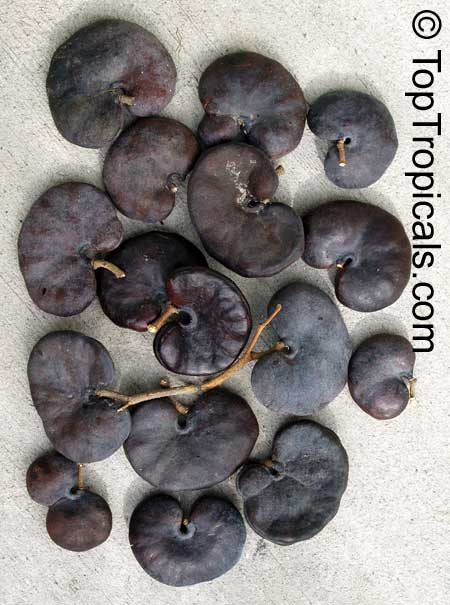 enterolobium cyclocarpum  monkey ear  ear pod tree