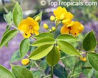 Senna corymbosa, Cassia falcata, Southern Cassia, Flowery Senna, Argentina Senna  Click to see full-size image