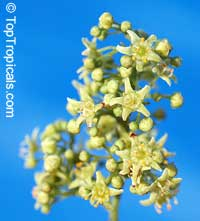 Rhus dentata, Searsia dentata, Nana-Berry  Click to see full-size image
