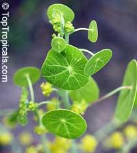 Stephania erecta, StephaniaClick to see full-size image
